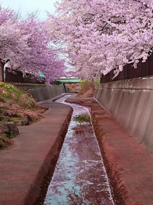 2018桜散歩イヴ9