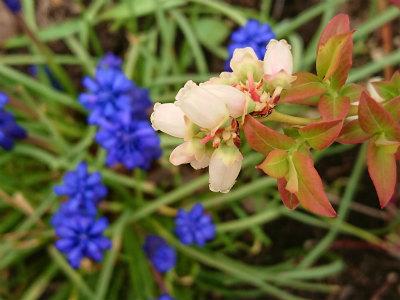 2018年ブルーベリー花