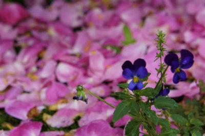 雨の花びらとすみれ