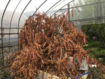 もみまきとツリートマトの芽5