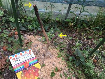 もみまきとツリートマトの芽6