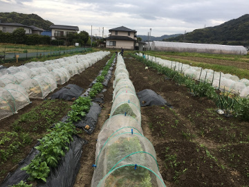 ボカシ作りと雨の農園4