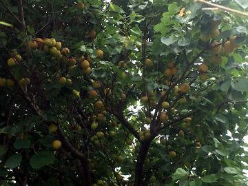 ニンニク収穫3種類11