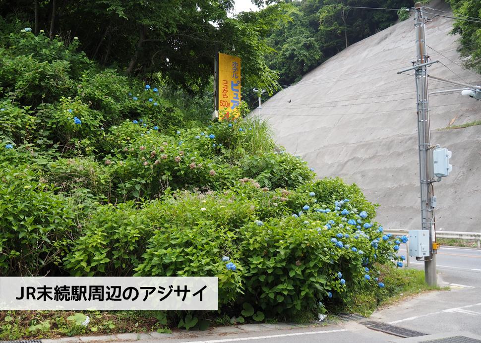 《いわき市花情報》JR末続駅周辺のアジサイ [平成30年6月11日(月)更新]1