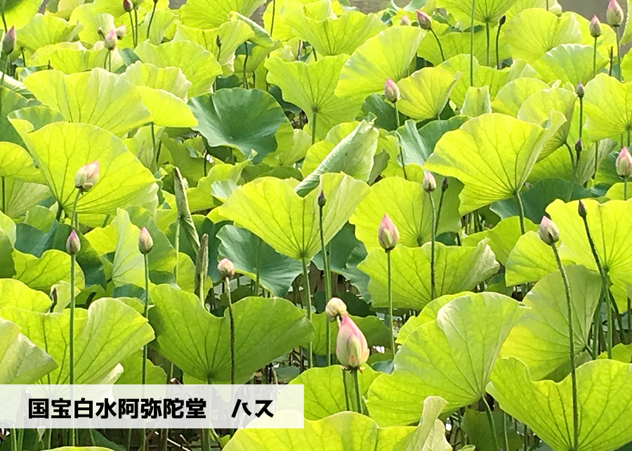 《いわき花情報》国宝白水阿弥陀堂のハス [平成30年6月27日(月)更新]トップ