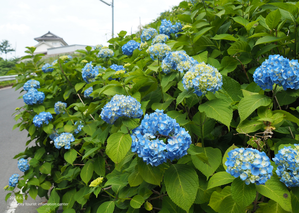 《いわき市花情報》JR末続駅周辺のアジサイ [平成30年6月11日(月)更新]3