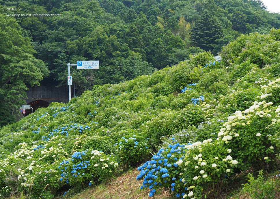 《いわき市花情報》JR末続駅周辺のアジサイ [平成30年6月11日(月)更新]4