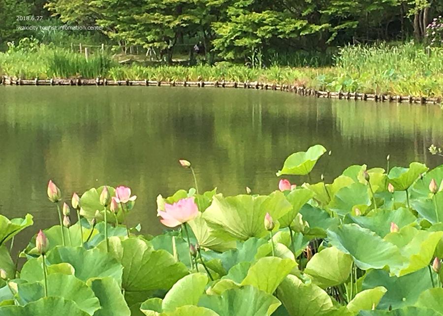 《いわき花情報》国宝白水阿弥陀堂のハス [平成30年6月27日(月)更新]5