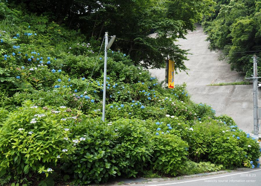 《いわき市花情報》JR末続駅周辺のアジサイ [平成30年6月23日(月)更新]5