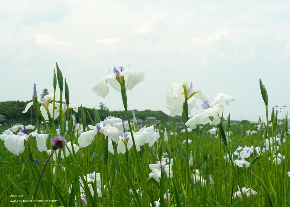 《いわき市花情報》平下神谷のハナショウブと沢帯公園のアジサイ [平成30年6月11日(月)更新]7