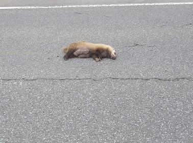 道路に獣が