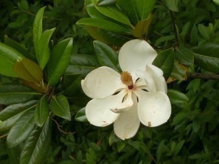 タイサンボク 3