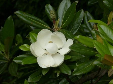 タイサンボク 5