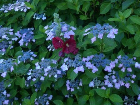 紫陽花 & タチアオイ