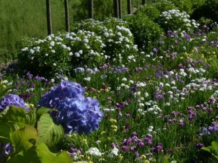 紫陽花 & 花菖蒲