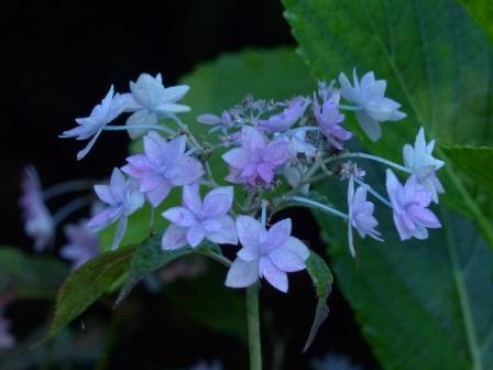 紫陽花 (七段花)