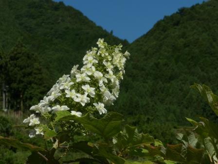 八重柏葉紫陽花 1