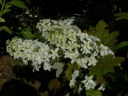 八重柏葉紫陽花 2