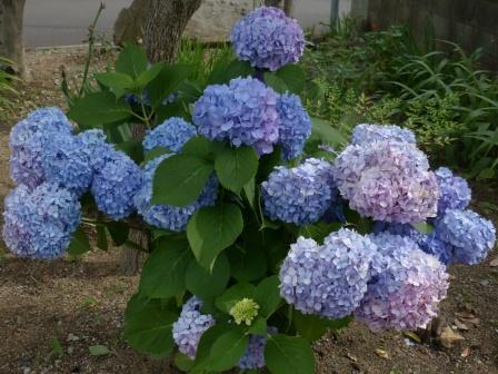 愛媛万葉苑 紫陽花 1
