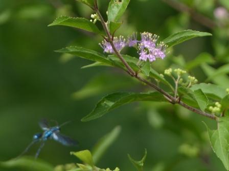 コムラサキ & 青い昆虫