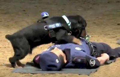 Impresionante demostracion Poncho perro Policia Madrid hace maniobras resucitacion