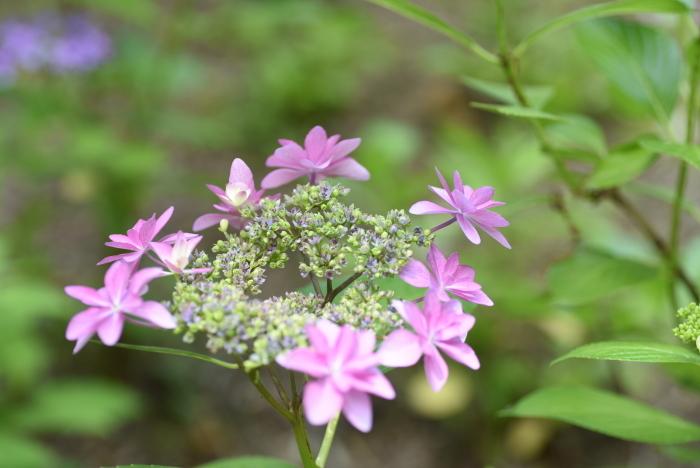 梅雨の花3