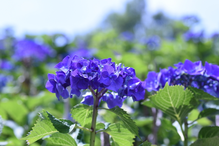 梅雨の花4