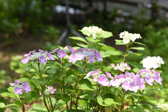 梅雨の花8