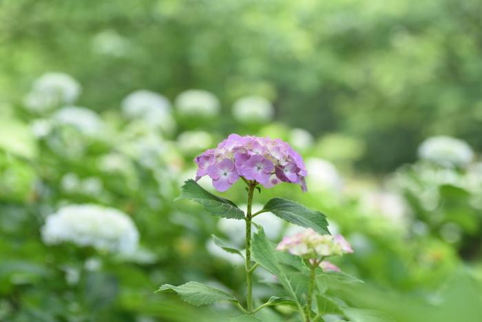 梅雨の花5