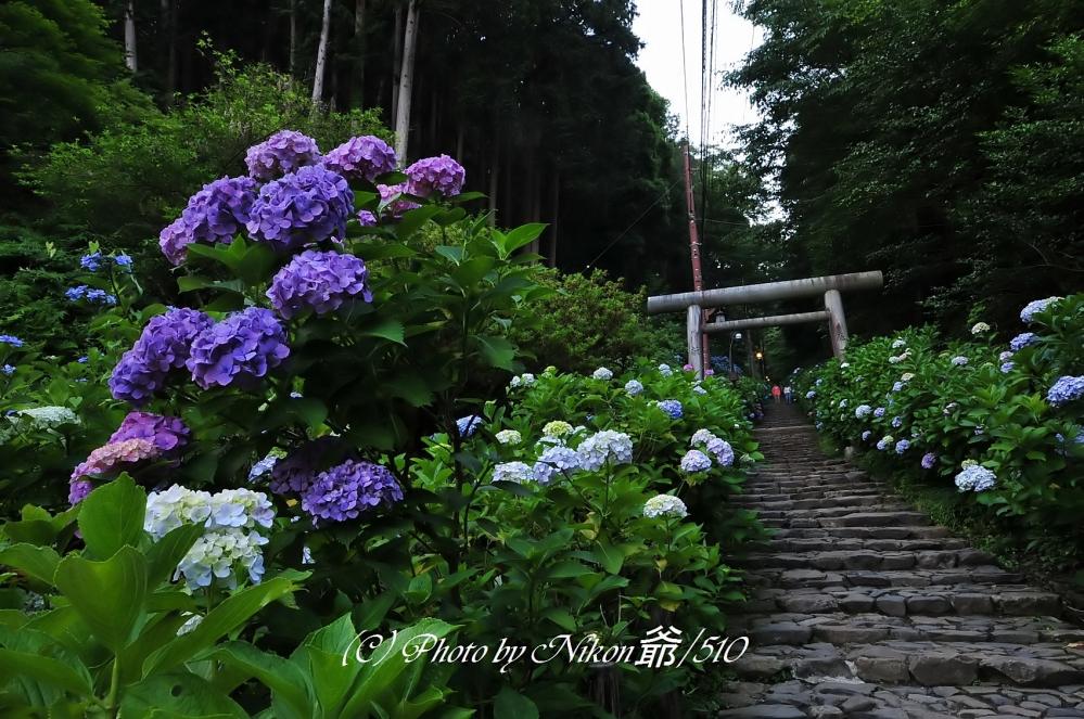 太平山 紫陽花坂_filtered