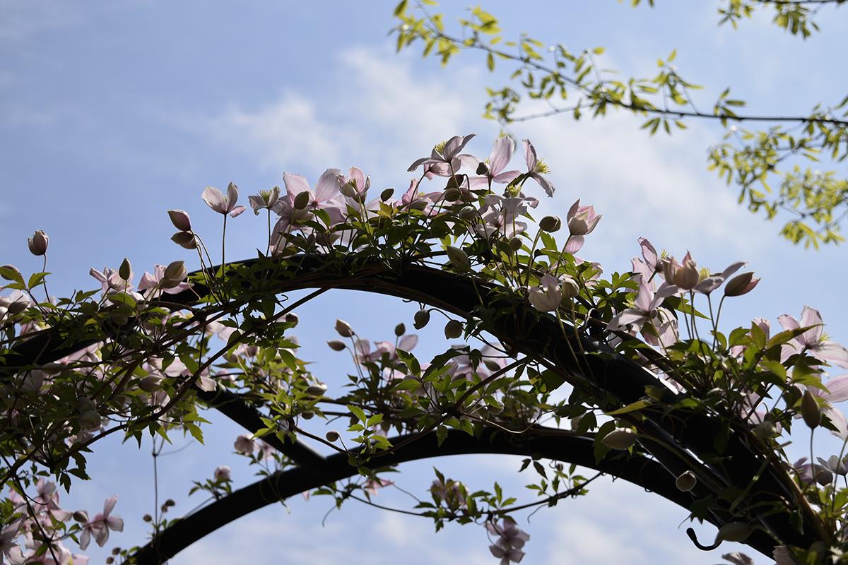 開花したクレマチスモンタナ