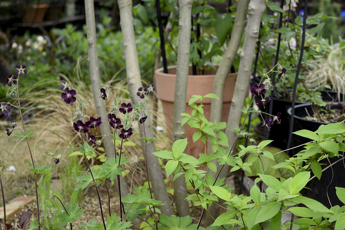 ゲラニウム ファエウム 黒花フウロ