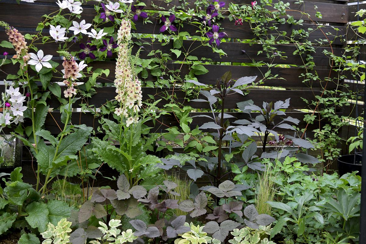 バーバスカムとクレマチス部分の植栽
