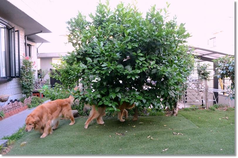 DSC_2832一気に大きくなったレモンの樹