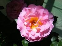 2018-06-09花巻薔薇園006