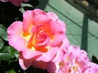 2018-06-09花巻薔薇園004