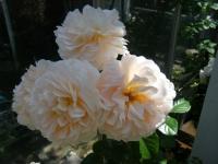 2018-06-09花巻薔薇園005