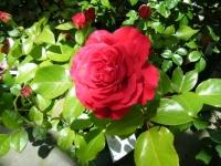 2018-06-09花巻薔薇園012