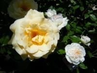2018-06-09花巻薔薇園011