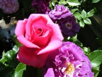 2018-06-09花巻薔薇園009