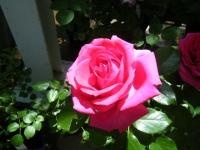 2018-06-09花巻薔薇園008