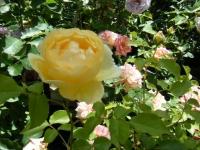 2018-06-09花巻薔薇園017