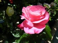 2018-06-09花巻薔薇園016