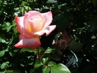 2018-06-09花巻薔薇園015