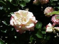 2018-06-09花巻薔薇園014