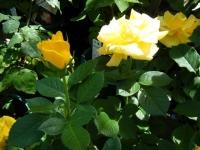2018-06-09花巻薔薇園023