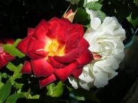 2018-06-09花巻薔薇園022
