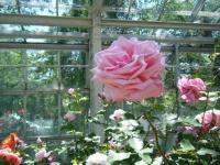 2018-06-09花巻薔薇園020