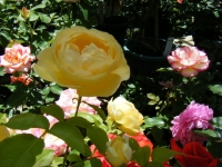2018-06-09花巻薔薇園019