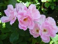 2018-06-09花巻薔薇園030